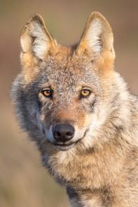 Wolf NABU